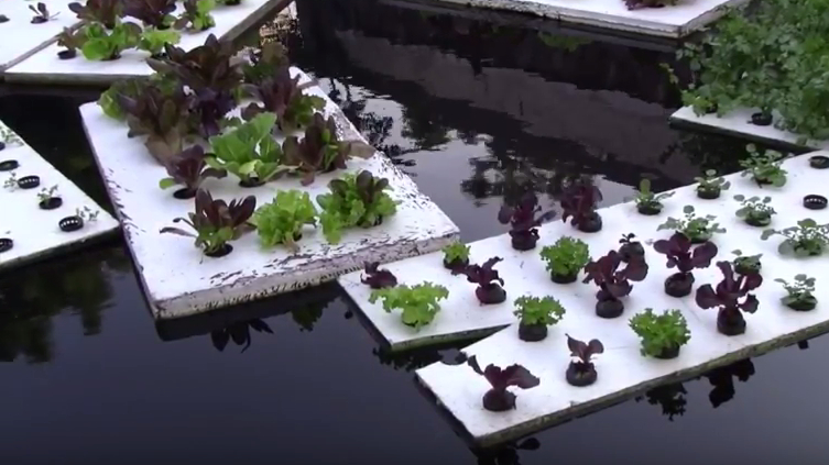 Aquaponics relies on the relationship between fish, whose waste feeds the plants, and plants, whose digestive process purifies the water.