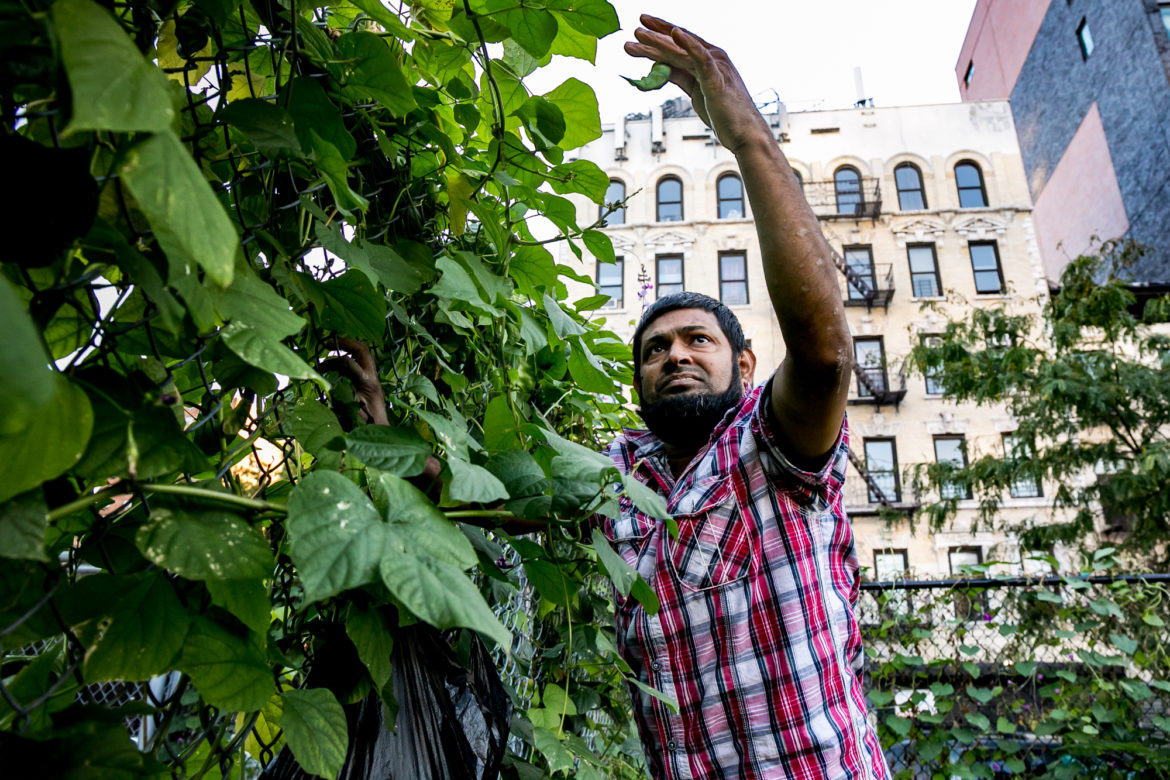 Mohammed-Uddin has been planting and harvesting beans by the East Harlem Little League field fence for years. The site is a likely target for housing development,